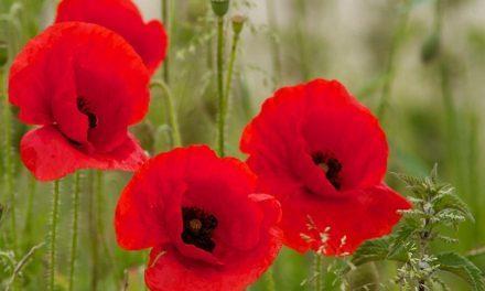 De klaproos, een symbool van de oorlogsherdenking