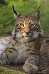 Lynx_lynx_poing-199x300