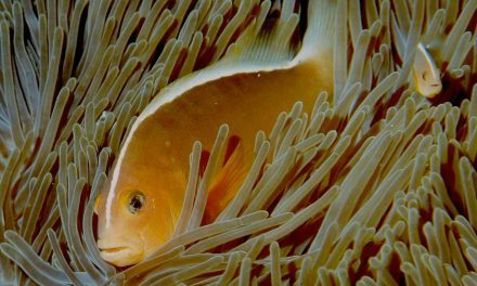 Waarom Nemo's papa eigenlijk Nemo's mama is
