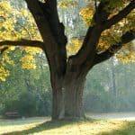Dikke bomen langs Vlaamse wegen