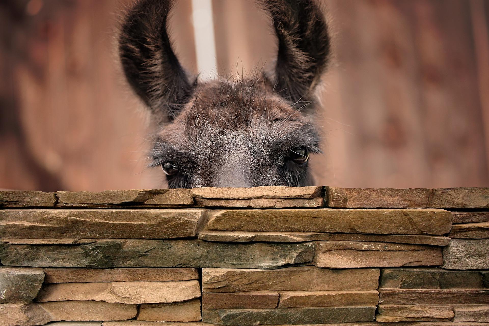 Llama peeps over wall (Image by Pezibear from Pixabay)