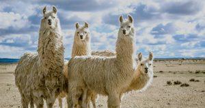 Llamas - featured (Shutterstock)
