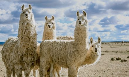 Saving the world from anthrax with … a llama