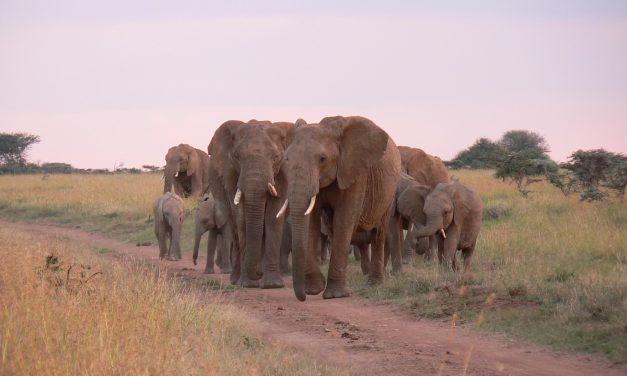 Olifanten voorkomen bodemuitputting in Afrikaanse savanne