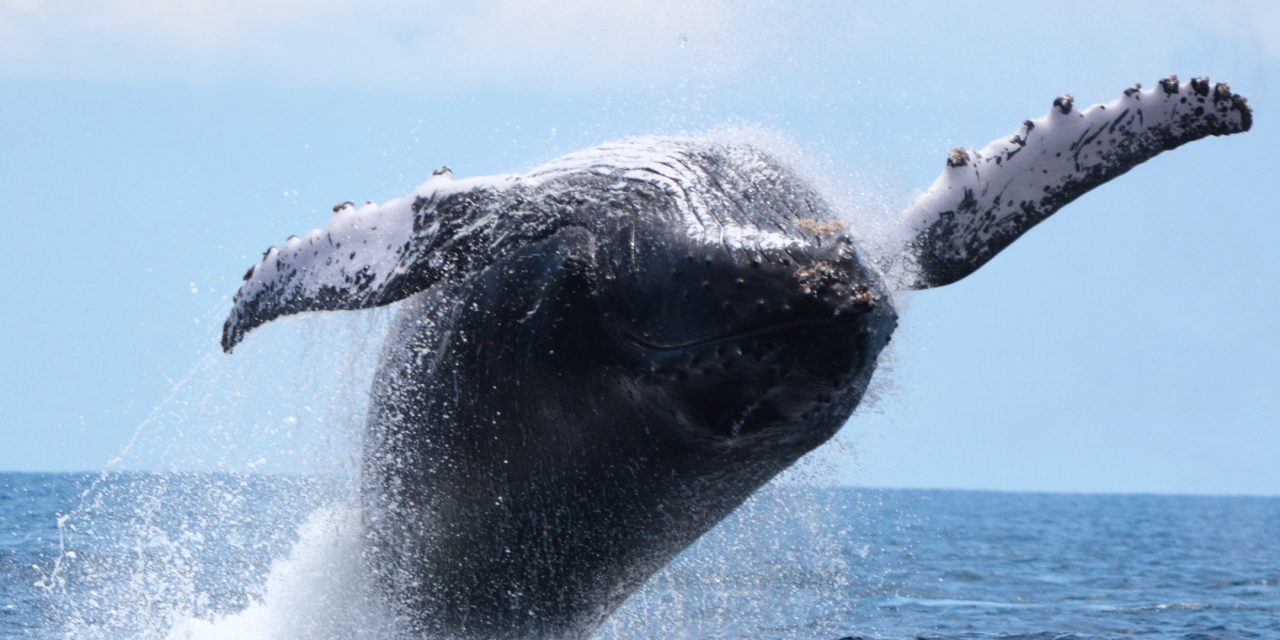 Humpback whales may be migrating further than originally expected