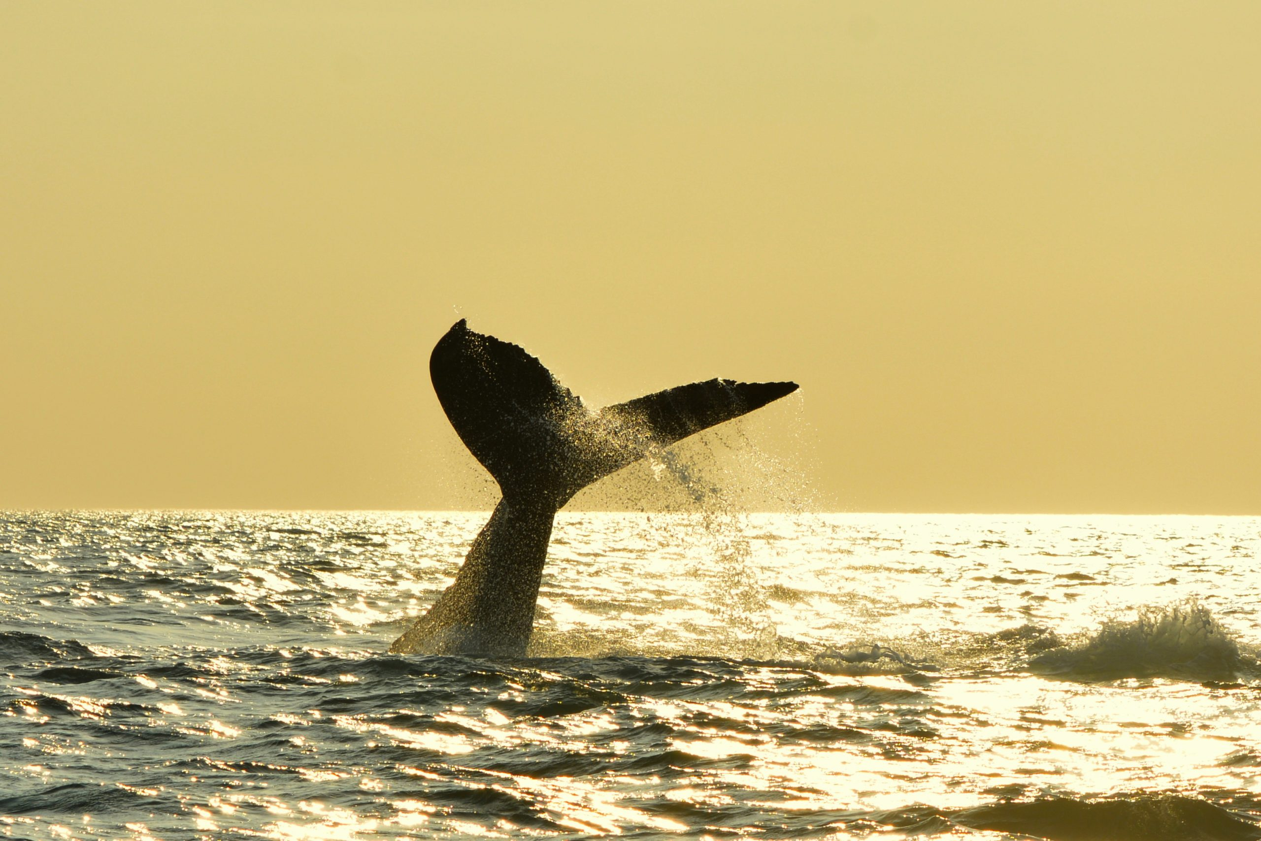 Fluke of a whale at sunset